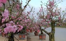 Hoa đào độc lạ lần đầu xuất hiện ở Thanh Hóa