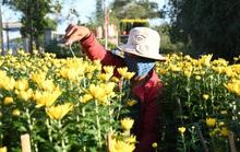 Thủ phủ hoa cúc nơi tâm bão Quảng Ngãi chật vật đón Tết