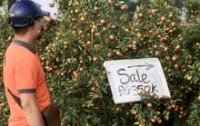 """CLIP: Thị trường đào, quất giá """"sale sập sàn"""" nhưng vẫn vắng người mua"""