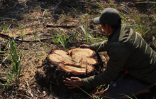 4 ha rừng bị tàn phá, huyện kiểm kê chỉ có... 2 cây!