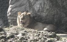 Hết chuyện đi ghẹo sư tử, đệ tử Lưu Linh gặp may lớn