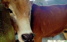 Hơn 100 trâu, bò mắc bệnh lạ ở Quảng Bình, 2 con đã chết