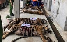 Thông tin mới về vụ 17 con hổ lớn nuôi nhốt trong khu dân cư