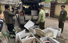Nhập khẩu cá tầm Trung Quốc sai phép, doanh nghiệp tự ý đưa đi tiêu thụ