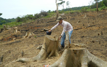 Yêu cầu làm rõ trách nhiệm vụ hàng chục cây rừng bị lâm tặc đốn hạ ở Quảng Trị