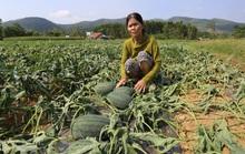 Quảng Nam: Hơn 1.000 gốc dưa hấu bị kẻ xấu cắt trụi gốc
