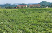 Mưa lớn, gần 3.000 hecta lúa của bà con nông dân Quảng Bình bị đổ rạp