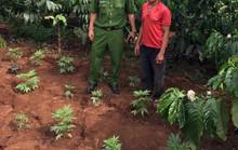 Hai vợ chồng gây dựng vườn cần sa từ những hạt giống người lạ cho?