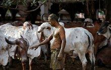 Một số người Ấn Độ chữa Covid-19 bằng chất thải của bò, bác sĩ nói gì?