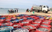 Ngư dân Bình Thuận trúng mùa cá cơm