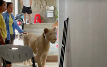 Cái kết của người Trung Quốc khoe thú cưng sư tử trên TikTok