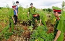 Người nước ngoài trồng 3.000 m2 cây cần sa tại bãi giữa sông Hồng