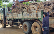 Lòng vòng xử lý gỗ lậu khai thác trái phép