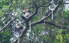 Ngắm đàn voọc quý hiếm mà Quảng Nam mua rừng của người dân để bảo vệ