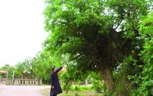 Thăm rừng lộc vừng hơn trăm năm tuổi