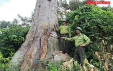 Ngắm cụ lim xanh ngàn năm tuổi duy nhất ở xứ Thanh