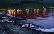 Cuộc săn đẫm máu kỷ lục ở quần đảo Faroe