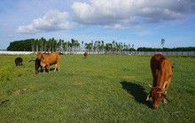 Dự án 670 tỉ đồng đắp chiếu, thành bãi chăn bò