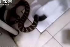 Chuẩn bị tắm, hoảng hồn thấy rắn chui lên từ bồn cầu