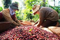 Nghịch lý cà phê Việt Nam: Của ngon bán ra nước ngoài?