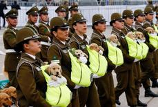 Chó nghiệp vụ gây sốt tại lễ diễu binh Chile vì…quá dễ thương