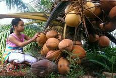 Độc đáo giống dừa 'ngồi' hái ở miền Tây