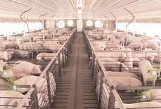 Trung Quốc: Áp dụng công nghệ nhận diện khuôn mặt vào chăn nuôi lợn