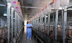 Ngành chăn nuôi heo - 25 năm nhìn lại: Từ thủ công đến chuỗi liên kết khép kín