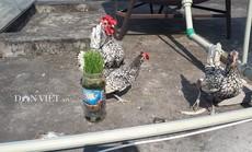 """Chủ nuôi tiết lộ sự thật về gà vảy cá """"mỹ kê"""" giá 5 triệu đ/con"""