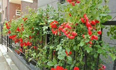 8 loài hoa đẹp bình dị, dễ trồng cho sân vườn nhà phố