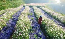 Cánh đồng hoa mới toanh ở Đà Lạt đốn tim giới trẻ