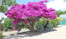 """""""Sốt rần rần"""" với cây hoa giấy khổng lồ siêu đẹp ở Đà Lạt"""