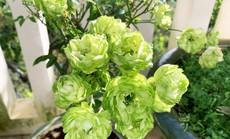 Hoa hồng xanh, sung Mỹ, dưa pepino Đà Lạt gây sốt dịp Tết Kỷ Hợi