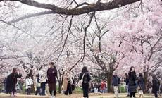 Hoa anh đào - ngành kinh doanh tỉ đô của Nhật Bản