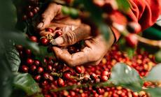 Giá cà phê Việt chạm đáy 10 năm