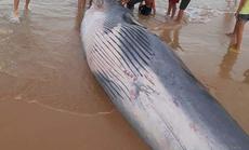 Xác cá Ông hơn 2 tấn dạt vào bờ biển phía Bắc Khánh Hoà