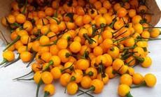 Ớt Aji Charapita mọc hoang dại nhưng có giá hơn nửa tỉ đồng/kg