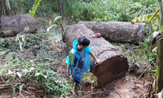 Chở gỗ lậu cổ thụ, một người bị gỗ đè tử vong