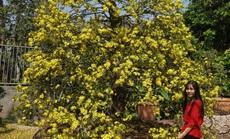 """Ngắm hàng loạt cây mai """"cổ"""" nở hoa vàng rực"""
