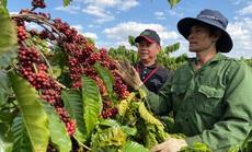 Nông dân đua nhau trồng cà phê năng suất cao nhưng lợi nhuận thấp