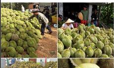 Thực hư thông tin 40.000 tấn sầu riêng ở Tiền Giang cần giải cứu