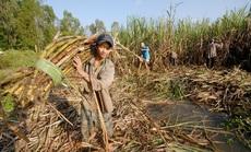 Mía đường lại kêu khó, Bộ Tài chính siết xuất khẩu đường nguồn gốc nước ngoài