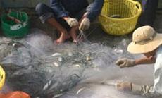 """Sướng với cá đối bị thủy triều """"đẩy"""" vào Gò Công"""