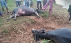 Đang gặm cỏ giữa đồng, cả đàn trâu bị sét đánh chết