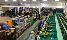 Nông sản Lâm Đồng đổ về TP HCM bán Tết