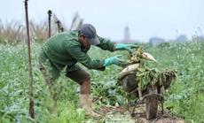 Cận cảnh người dân Hà Nội nhổ bỏ hàng trăm tấn củ cải vì không bán được