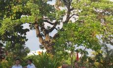 Bền bỉ như cây di sản ở Trường Sa