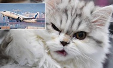 Phi công bị mèo tấn công, máy bay phải hạ cánh khẩn