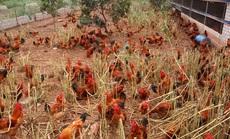 Sau rau củ quả, đến lượt giải cứu gà đồi Hải Dương 55.000 đồng/kg