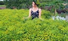 CLIP: Ngỡ ngàng những cánh đồng hoa thì là tuyệt đẹp ở Bạc Liêu